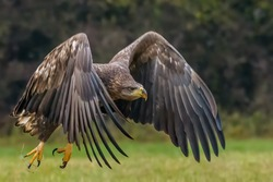 White Tailed Eagle (Haliaeetus albicilla) in flight. Also known as the ern, erne, gray eagle, Eurasian sea eagle and white-tailed sea-eagle. Wings Spread. Poland, Europe. Birds of prey.