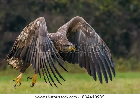 White Tailed Eagle (Haliaeetus albicilla) in flight. Also known as the ern, erne, gray eagle, Eurasian sea eagle and white-tailed sea-eagle. Wings Spread. Poland, Europe. Birds of prey.