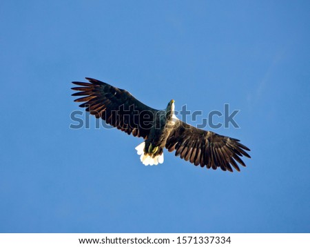 White-tailed eagle, Haliaeetus albicilla, in flight, low angle view