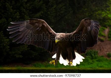 White-tailed Eagle (Haliaeetus albicilla) landing on grass - stock photo