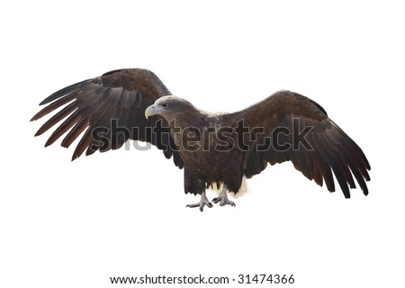 White-tailed Eagle has spread wings on  white background