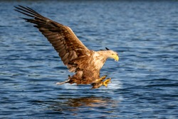 white tailed eagle in flight above a lake ready to catch prey