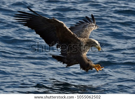 White-tailed eagle in flight, fishing.White-tailed eagle (Haliaeetus albicilla), also known as the ern, erne, gray eagle, Eurasian sea eagle and white-tailed sea-eagle.