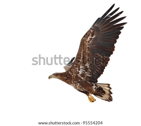 White tailed eagle in flight isolated on white - stock photo