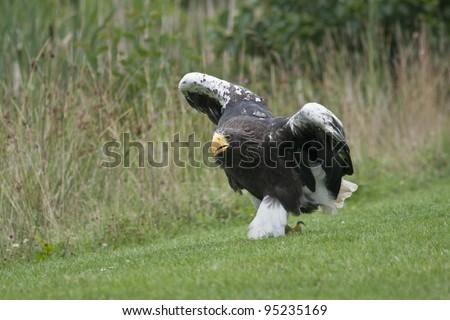 White-tailed eagle on the ground near The Skaw, Denmark - stock photo