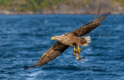 White-tailed eagle or Eurasian sea eagle (Haliaeetus albicilla) flying over the blue sea water surface with fresh catched fish in its claws; Flatanger municipality (Norway), 10-08-2019.
