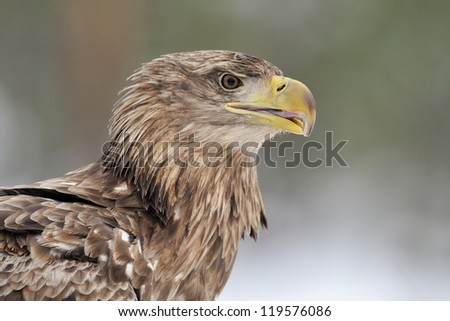 White-tailed eagle portrait