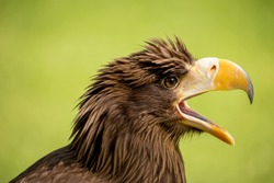 White-tailed eagle squawking isolated on a chartreuse yellow background. Detailed side view of head  an eurasian sea eagle at the autumn sun. Gray eagle with fluffy feathers on his head and open beak.
