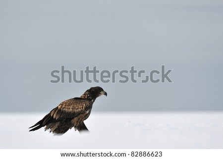 White-tailed Eagle walking on snow