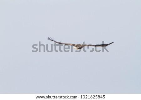 White-tailed eagle, White-tailed eagle on the Noshi peninsula, Bird of prey, Hokkaido's White-eagle, Eagle