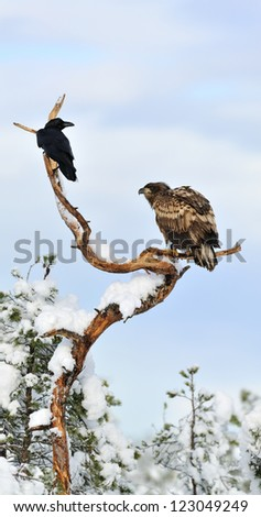 White-tailed eagle with common raven