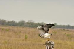 White Tailed Hawk Magnificent Bird