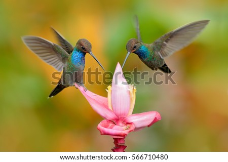 Shutterstock White-tailed Hillstar, Urochroa bougueri, two hummingbirds in flight on the ping flower, green and yellow background, two feeding birds in the nature habitat, Montezuma, Colombia. Wildlife from nature