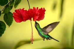 White-tailed sabrewing hovering next to red ibiscus flower, bird in flight, caribean tropical forest, Trinidad and Tobago, natural habitat, hummingbird sucking nectar, colouful background