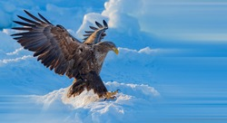 White-tailed Sea Eagle flies for food in the snow