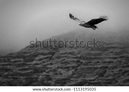 White-tailed Sea Eagle (Haliaeetus albicilla). In flight with misty hills in background. Black and white image. Image taken in the Isle of Mull, Scotland, UK.