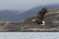 White-tailed Sea Eagle (Haliaeetus albicilla). In flight with misty hills in background. Image taken in the Isle of Mull, Scotland, UK.