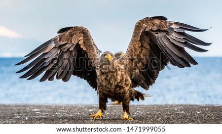 White-tailed sea eagle spreading wings.   Scientific name: Haliaeetus albicilla, also known as the ern, erne, gray eagle, Eurasian sea eagle and white-tailed sea-eagle.