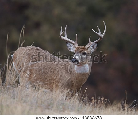 White-tailed / Whitetail buck deer against natural dark background; white tailed / whitetailed / white tail / white-tail / deer hunting / big buck / big game hunting