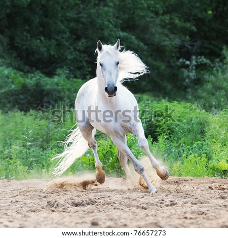 white Tersk horse runs on the sand