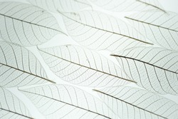 White texture macro background of skeleton leaf in pleasing pattern back lit. Transparent leaves with selective focus. Abstract with room for text on bright background.