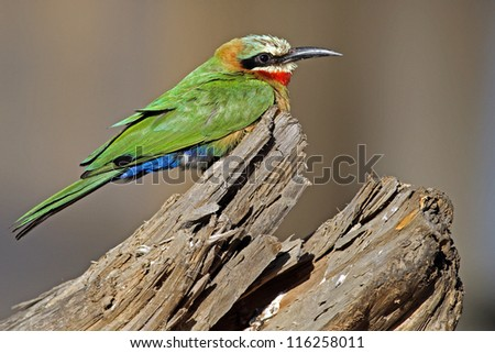White-throated Bee-eater on twig in Rietvlei nature reserve