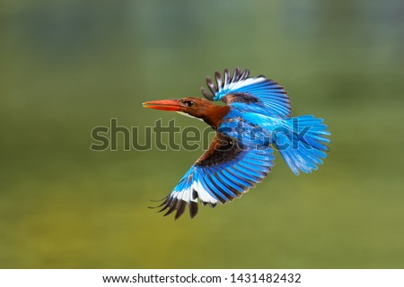 White-throated Kingfisher Halcyon smyrnensis on the branch, also known as the white-breasted kingfisher,  tree kingfisher, distributed in Asia from Turkey east through the Indian subcontinent.