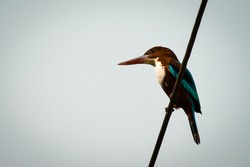White Throated Kingfisher sitting on a wire . White background for writing quotes .