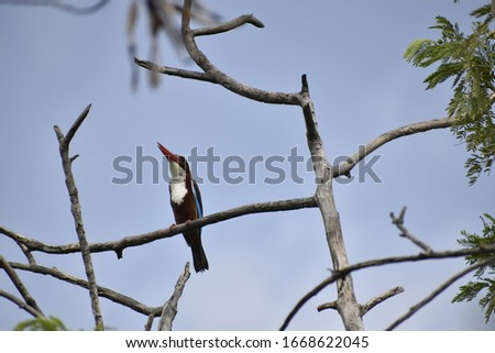 White-throated kingfisher  - The white-throated kingfisher (Halcyon smyrnensis) also known as the white-breasted kingfisher is a tree kingfisher, widely distributed in Asia from the Sinai east through