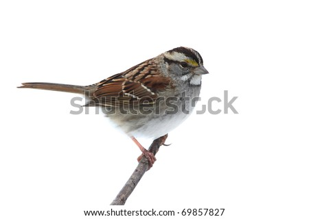 White-throated Sparrow (Zonotrichia albicollis) on a branch. Isolated on a white background