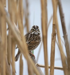 White-throated Sparrow (zonotrichia albicollis) peering out from thick reeds