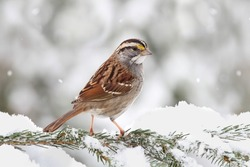White-throated Sparrow (zonotrichia albicollis) perched on a snow covered tree limb