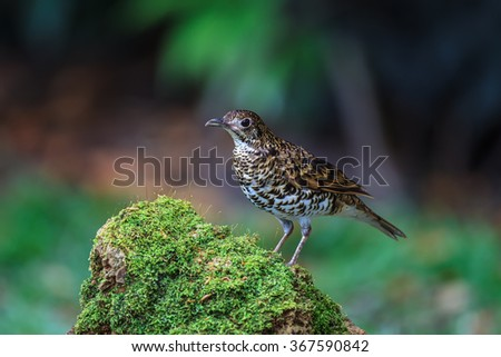 White Thrush or Tiger Thrush bird standing in the nature of northern Thailand