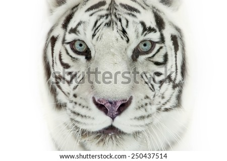 white tiger #250437514