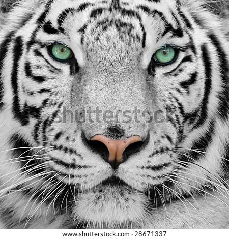 stock photo white tiger 28671337 - Каталог — Фотообои «Животные»