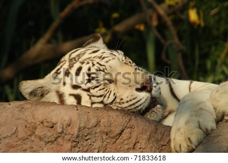 White tiger asleep on a rock