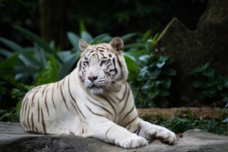 White tiger, bleached tiger