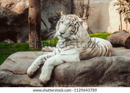 White tiger, bleached tiger on rock #1129643789