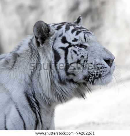 White Tiger. Close up