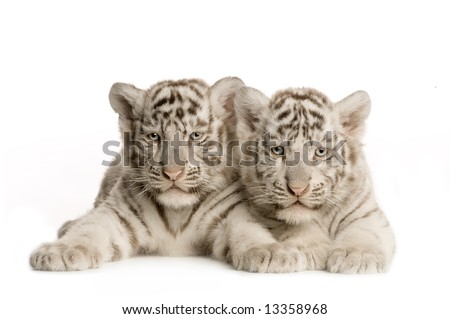 White Tiger cub (2 months) in front of a white background