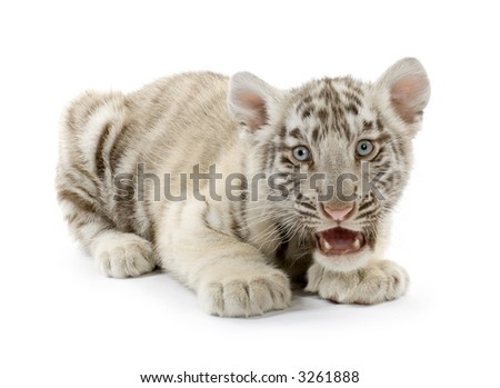 White Tiger cub (3 months) in front of a white background.