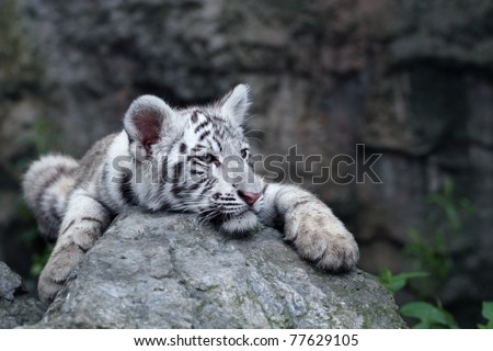 White tiger cub resting - stock photo