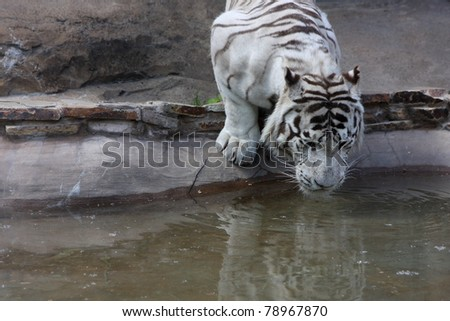 White tiger drink water