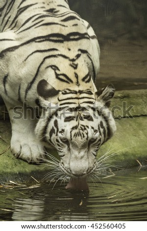 White tiger drinking water in the Zoo of Thailand  #452560405