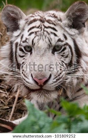 White Tiger eating