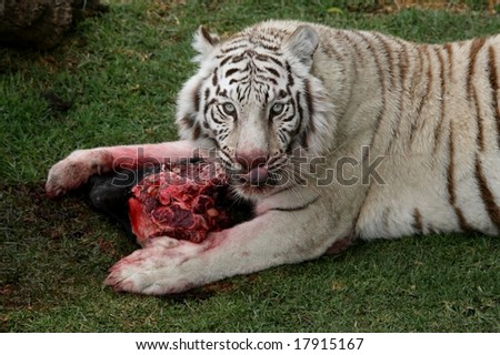 White Tigers Eating Meat White Tiger Eating Bloody Meat