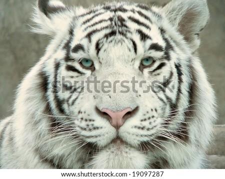 mac wallpaper tiger_10. mac wallpaper tiger_10. ed