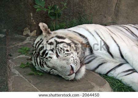 White tiger having siesta and sleeping