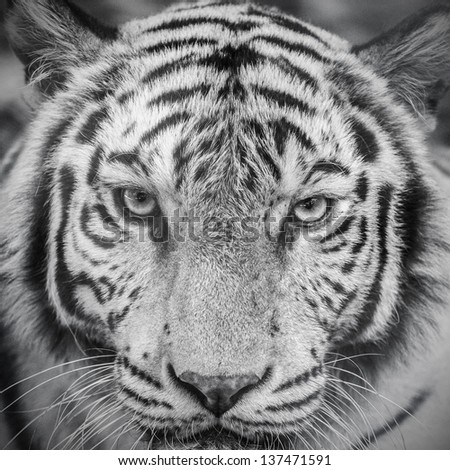 white tiger in black and white - stock photo