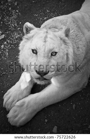 white tiger in bw
